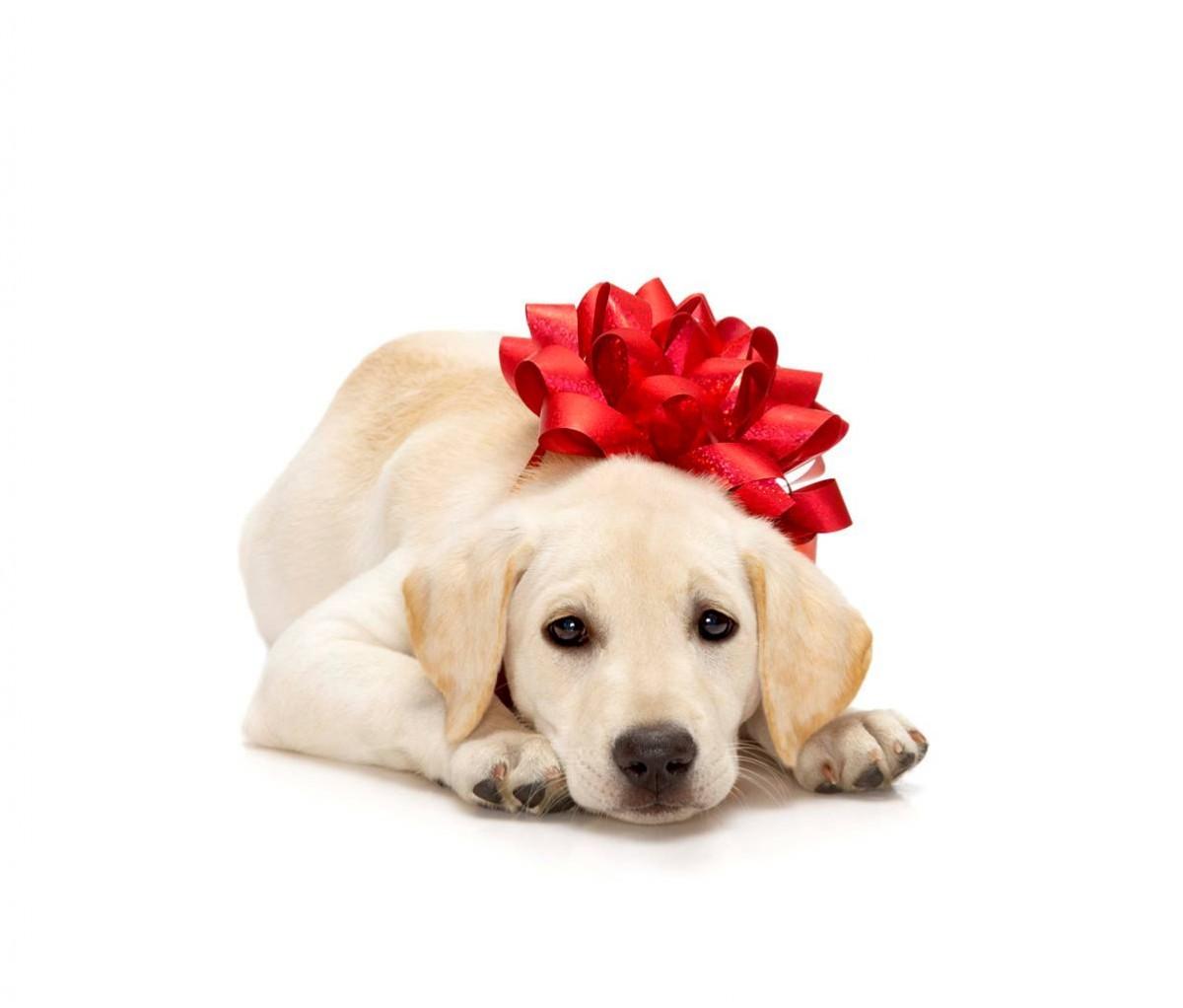 Surpresa para o namorado - Cachorro