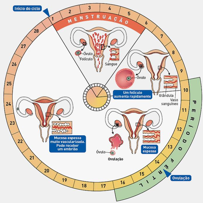 calcular o ciclo menstrual