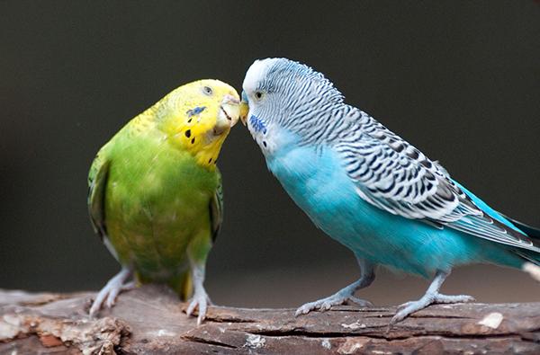 Surpresa para o namorado - animal de estimação
