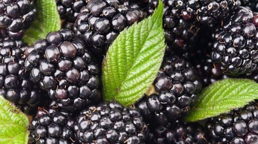 Farinha de amora e de soja preta ajudam a emagrecer