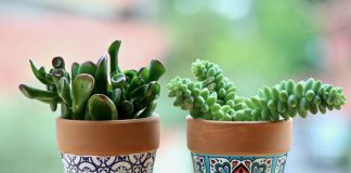 suculentas plantas
