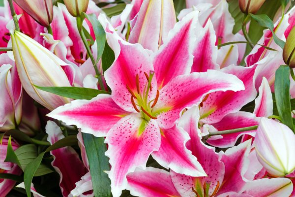 Flor Amarílis de cor rosa